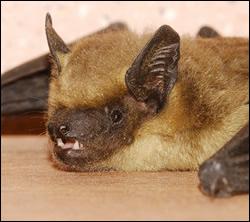 bat control Murphy