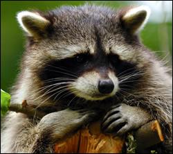 raccoon control Murphy