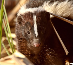 skunk control Murphy
